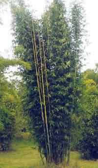 Bambus:Bambusa oldhamii