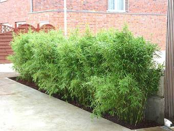 Bambus:Chinese Bamboo Dreams: Fargesia Spathacea 'Flamingo' ®