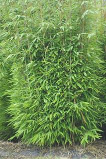 Bambus:Chinese Bamboo Dreams: Fargesia Spathacea 'Evergreen' ® 