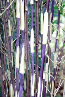 Bambus:Chinese Bamboo Dreams: Fargesia Spez.'Purple Dragon' ®