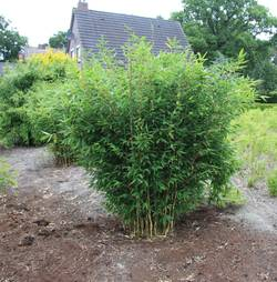 Bambus:Chinese Bamboo Dreams: Fargesia Spthacea 'Blue Dragon' ® 