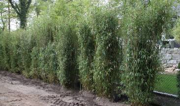 Bambus:Chinese Bamboo Dreams: Fargesia Spathacea 'Dragon King' ®