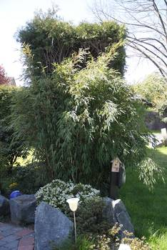 Bambus:Chinese Bamboo Dreams: Fargesia Spez. 'Freds Giant Dragon' ®