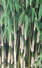 Chinese Bamboo Dreams: Fargesia Spez. 'Evergreen' ®