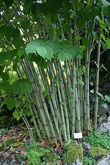 bambus lexikon russischer bambus kein bambus. Black Bedroom Furniture Sets. Home Design Ideas