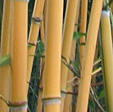 Phyllostachys humilis 'McClure'